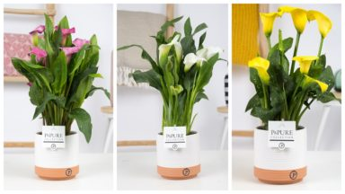 PC02-424-Zantedeschia-Mix-Pure
