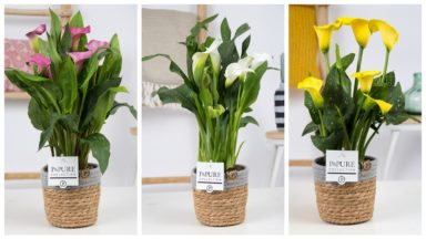 PC02-426-Zantedeschia-mix-Pure-asket