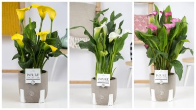 PC02-428-Zantedeschia-p12-mix-Pure-Jade