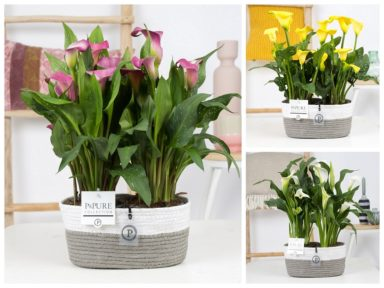 PC02-430-2x-Zantedeschia-p12-Mix-Pure-Fieldbasket