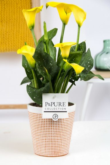 PC02-432-Zantedeschia-p12-in-Pure-Terra-Cotta