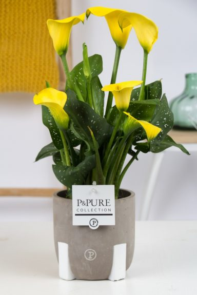 PC02-434-Zantedeschia-p12-yellow-Pure-Jade