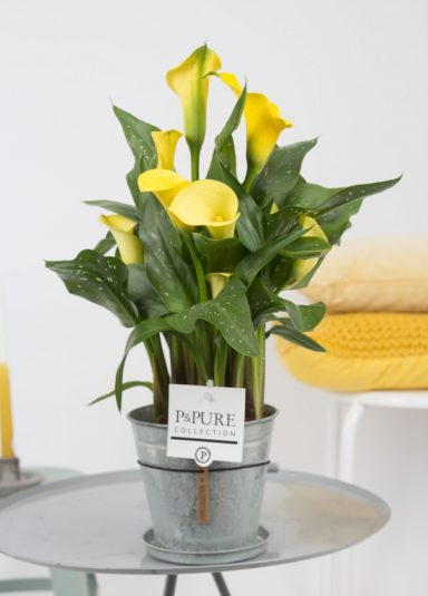 PC02-435-Zantedeschia-p12-in-zinc-pot-Louise-2-2
