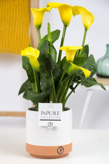 PC02-437-Zantedeschia-p12-Yellow-Pure