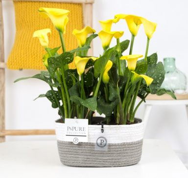PC02-440-2x-Zantedeschia-p12-Yellow-Pure-Fieldbasket