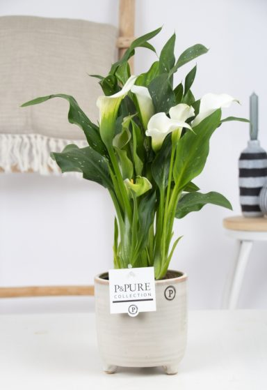 PC02-442-Zantedeschia-p12-White-Pure