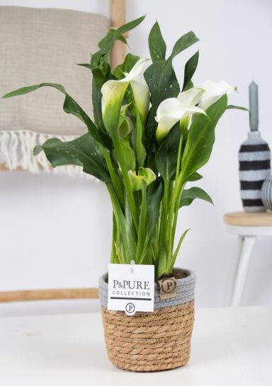 PC02-443-Zantedeschia-p12-white-Pure-asket