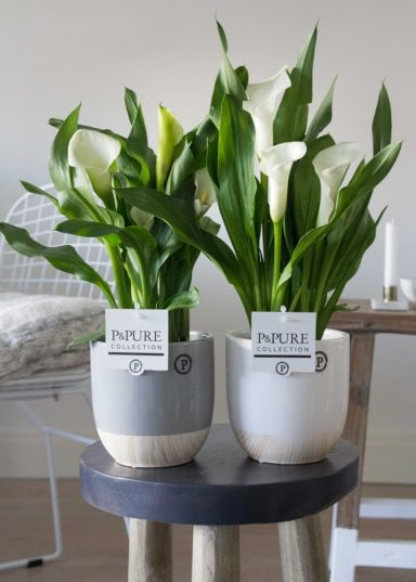 PC02-444-Zantedeschia-p12-white-in-Emily-ceramics-white_grey