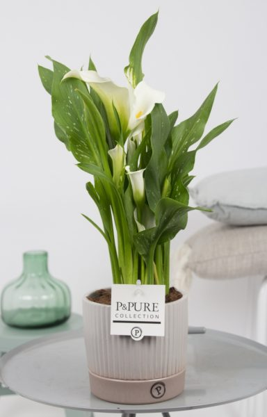 PC02-445-Zantedeschia-p12-white-in-Lucille-ceramics-grey