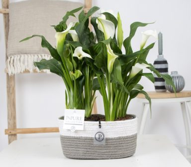 PC02-4472x-Zantedeschia-p12-White-Pure-Fieldbasket