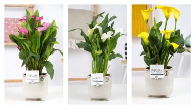 PC02-451-Zantedeschia-p12-mix-in-Lauren
