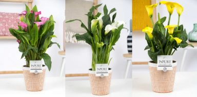 PC02-454-Zantedeschia-p12-pink-mix-in-Pure-Terra-Cotta