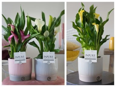 PC02-456-Zantedeschia-p12-mix-in-Lucille-ceramics-ass.2