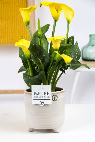 PC02-461-Zantedeschia-p12-Yellow-Pure