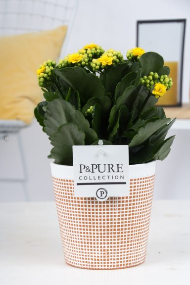 PC02-501-Kalanchoe-p12-yellow-in-Terra-Cotta