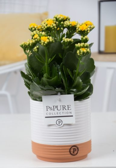 PC02-502-Kalanchoe-p12-yellow-in-Pure
