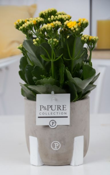 PC02-503-Kalanchoe-p12-yellow-in-Jade-3