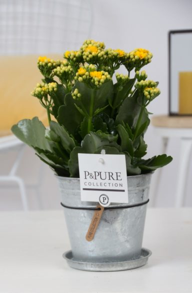 PC02-504-Kalanchoe-p12-yellow-in-zinc-pot-Louise