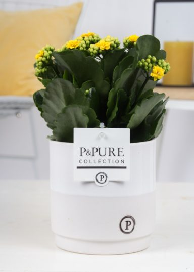 PC02-505-Kalanchoe-p12-yellow-in-Juliette