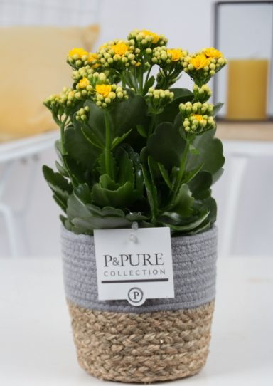 PC0208-Kalanchoe-p12-yellow-in-Pure-Basket