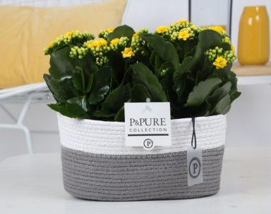 PC02-509-2x-Kalanchoe-p12-yellow-in-Fieldbasket
