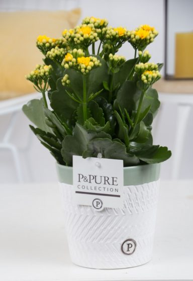 PC02-510-Kalanchoe-p12-yellow-in-Valerie