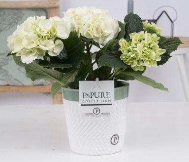 PC12-004-Hydrangea-p12-white-in-Valerie-ceramics