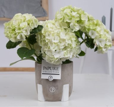 PC12-007-Hydrangea-white-p12-in-Jade-3