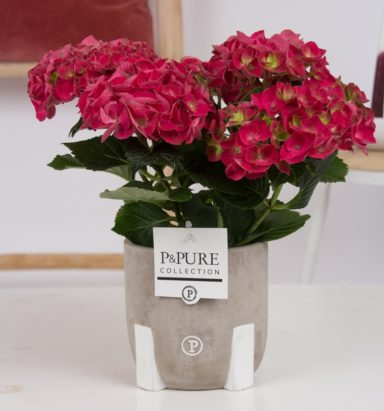 PC12-009-Hydrangea-red-p12-in-Jade-3