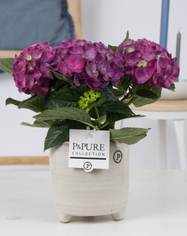 PC12-011-Hydrangea-blue-p12-in-Lauren