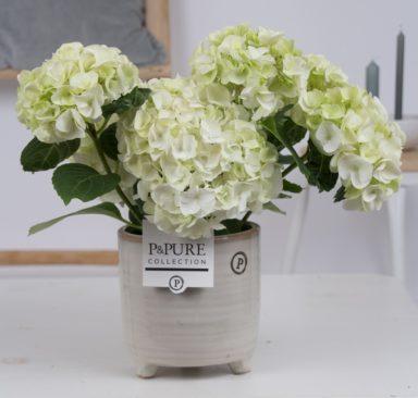 PC12-012-Hydrangea-white-p12-in-Lauren