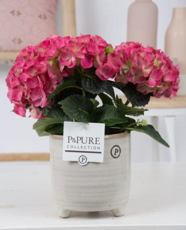 PC12-013-Hydrangea-pink-p12-in-Lauren