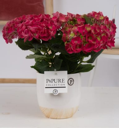 PC12-053-Hydrangea-red-p12-in-Emily-ceramics