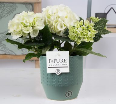PC1201-Hydrangea-white-p12-in-Eline-cer.-green