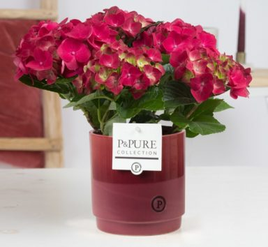 PC12-115-Hydrangea-p12-in-Juliette-ceramics