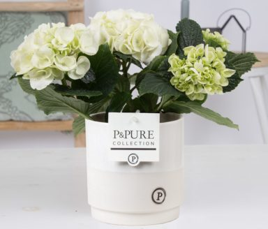 PC12-116-Hydrangea-p12-in-Juliette-ceramics