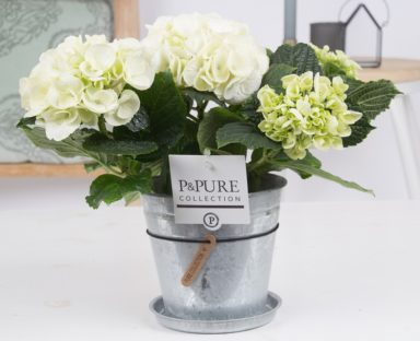 PC12-120-Hydrangea-p12-white-in-zinc-pot-Louise