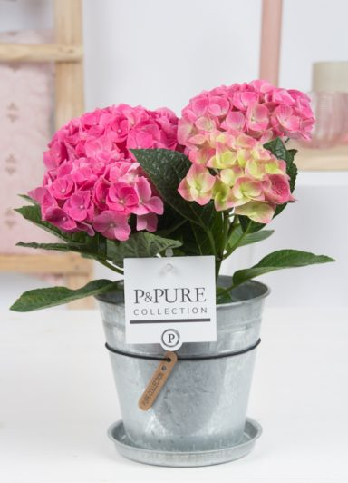 PC12-121-Hydrangea-p12-pink-in-zinc-pot-Louise