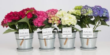 PC12-123-Hydrangea-p12-mix-in-zinc-pot