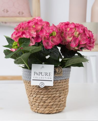 PC12-124-Hydrangea-pink-p12-in-Pure-Basket