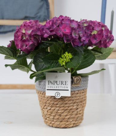 PC12-125-Hydrangea-blue-p12-in-Pure-Basket