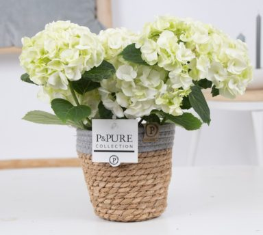 PC12-126-Hydrangea-white-p12-in-Pure-Basket