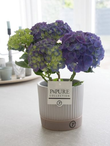 PC12-129-Hydrangea-p12-blue-in-Lucille-ceramics