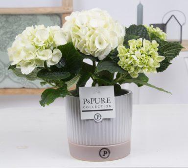 PC12-132-Hydrangea-p12-white-in-Lucille-ceramics
