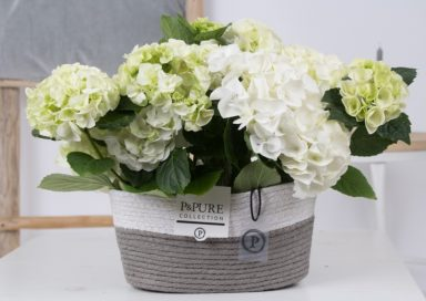 PC12-149-Hydrangea-white-p12-x2-in-Fieldbasket