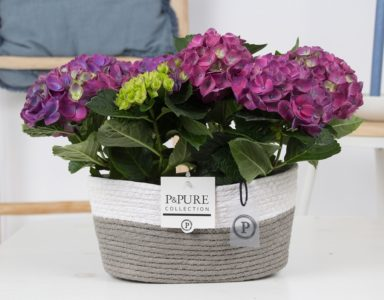 PC12-150-Hydrangea-blue-p12-x2-in-Fieldbasket