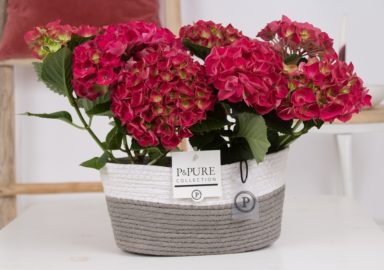 PC12-151-Hydrangea-red-p12-x2-in-Fieldbasket