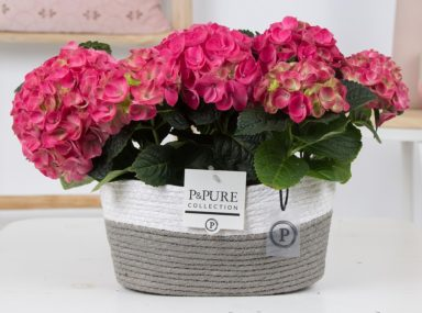 PC12-152-Hydrangea-pink-p12-x2-in-Fieldbasket