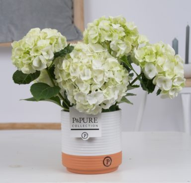 PC12-164-Hydrangea-white-p12-in-Milou