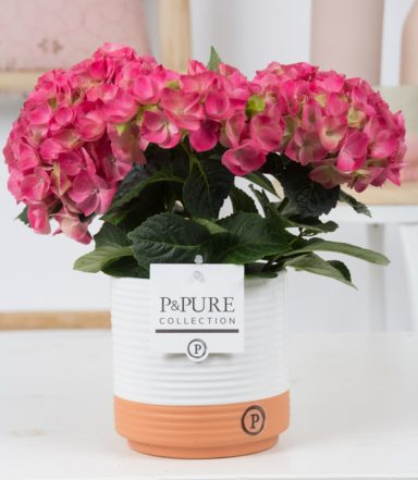 PC12-165-Hydrangea-pink-p12-in-Milou